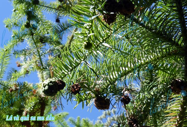 Lá và quả của Sa Mu Dầu