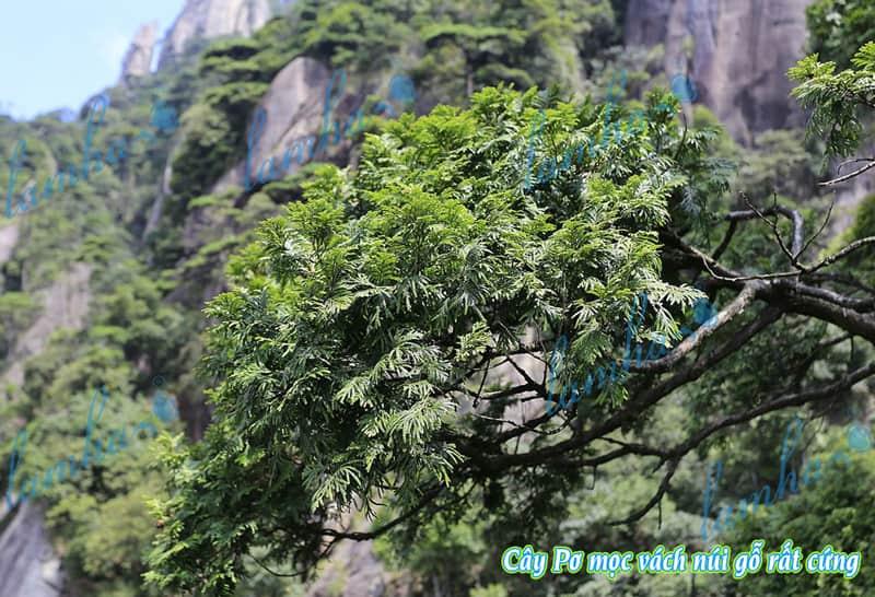 Cây Pơ Mu mọc trên núi đá cheo leoTam Thanh Sơn, Giang Tây Trung Quốc
