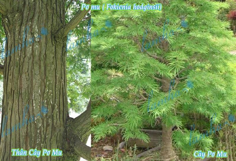Thân cây Pơ mu Fokienia hodginsii