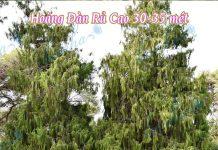 Hoàng Đàn Rủ (Ngọc Am) có thể cao tới 30-35 mét